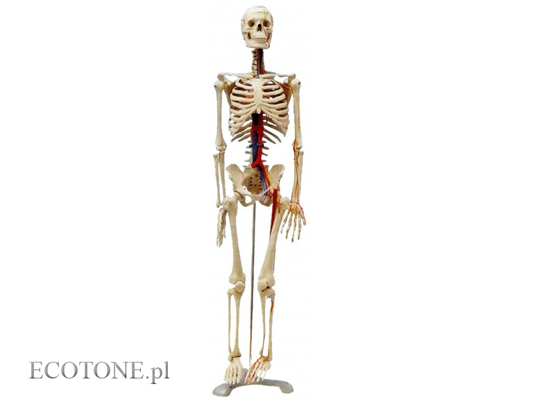 A Human Skeleton 85 Cm From The Veins And Arteries Shop Ecotone