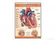 - Serce-plansza dydaktyczna