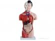 - Tułów żeński 42 cm wyjmowane organy