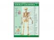 - Szkielet człowieka-plansza dydaktyczna