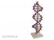 - DNA- model 3D