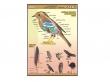 - Ptaki-plansza dydaktyczna