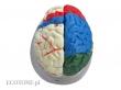 - Mózg model kolorowy - 8 częściowy