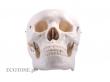 Human Skull (2 items)