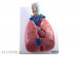 - Narządy klatki piersiowej