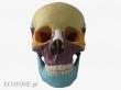 - Czaszka-kości kolorowe