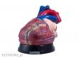 - Serce model duży