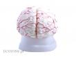 - Mózg z naczyniami, model 8 częściowy