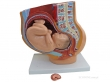 - Przekrój miednicy żeńskiej podczas 40 tygodnia ciąży