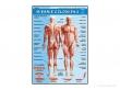 - Układ mięśniowy-plansza dydaktyczna