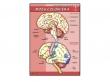 - Mózg człowieka-plansza dydaktyczna