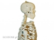 - Szkielet człowieka 170 cm