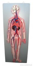 - Układ krwionośny-model