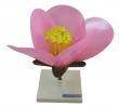 - Kwiat brzoskwini