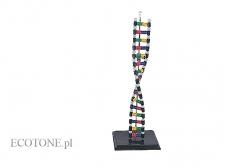 - DNA model schematu