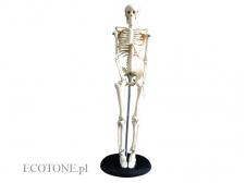 - A human skeleton 45 cm